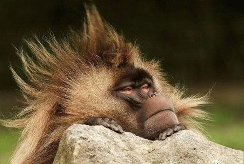 monkey-bad-hair-day1